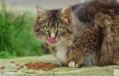 picture of licking  - Cat eating dry food and licking lips - JPG