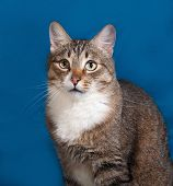 image of blue tabby  - Tabby and white cat sitting on blue background - JPG