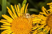 picture of crab  - Crab spider on yellow flower is ready for attack - JPG