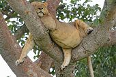 stock photo of african lion  - Young African Male Lion Asleep in a Tree in the Ishasha Region of Queen Elizabeth National Park in Uganda - JPG