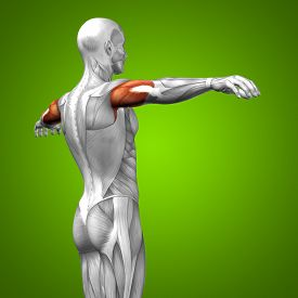 foto of human muscle  - Concept or conceptual 3D triceps human anatomy or anatomical and muscle on green gradient background - JPG