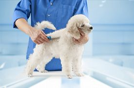picture of working-dogs  - Poodle grooming at the salon for dogs - JPG
