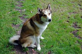 picture of laika  - A bitch of West Siberian Laika sitting on a meadow - JPG