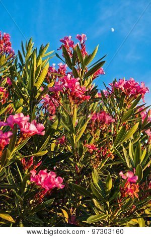 Pink mediterranean flowers on a morning sunshine in Sithonia