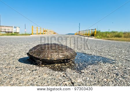 Turtle dangerously crossing the road in front of a small yellow bridge, Sithonia