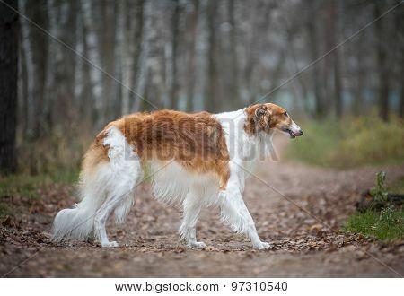Adult Russian Borzoy Dog