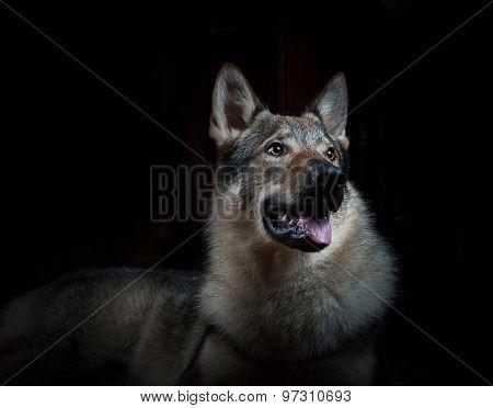 Beautiful Wolfdog On A Black