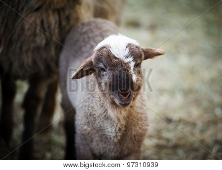 Cute Young Little Lamb With Mother Sheep Closeup