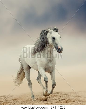 gray Andalusian Stallion