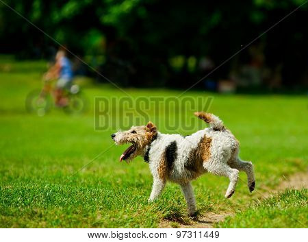 Foxterrier Playing