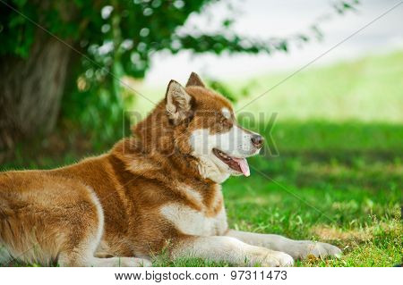 Alaskan Malamute Having Rest