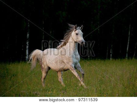 Arabian Horse In Forest