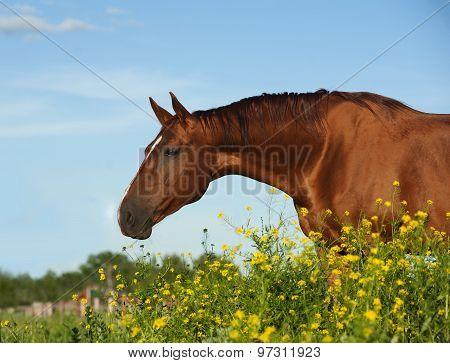 Golden Chestnut Purebred Horse
