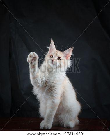 Funny Maine Coon Kitten