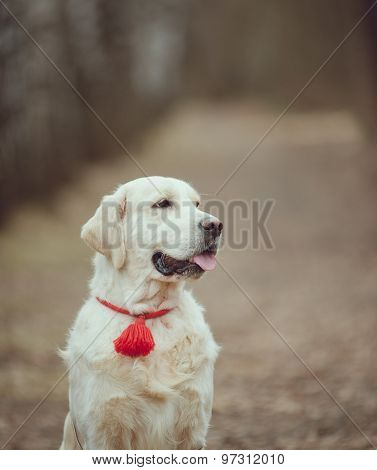Golden Retriever In Forest