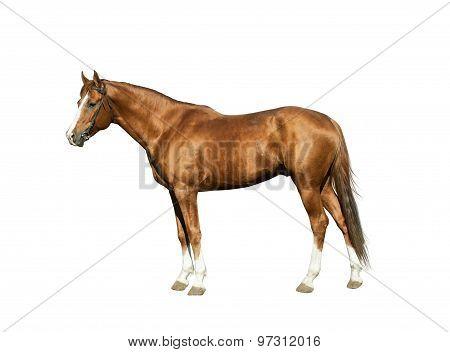 Purebred Chestnut Horse Isolated