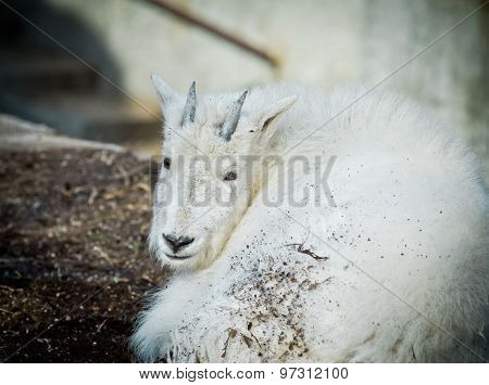 Young Snow Goat Having Rest