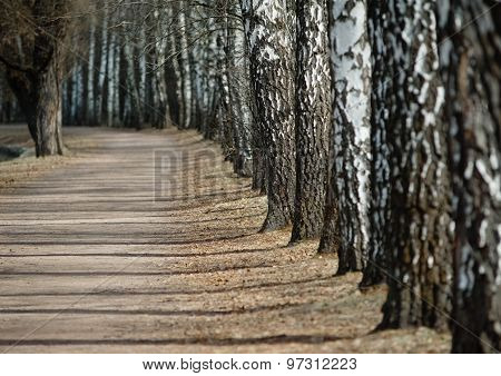 Birch Trees In The Park