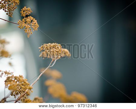Dry Inflorescence Background