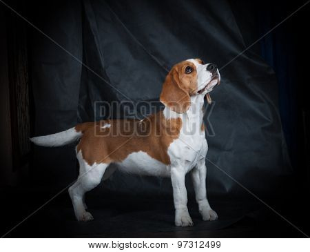 Female Beagle Girl