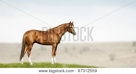 Purebred Chestnut Stallion
