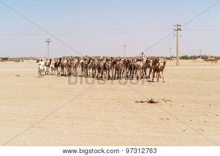 Herd Of Camels In Sudan