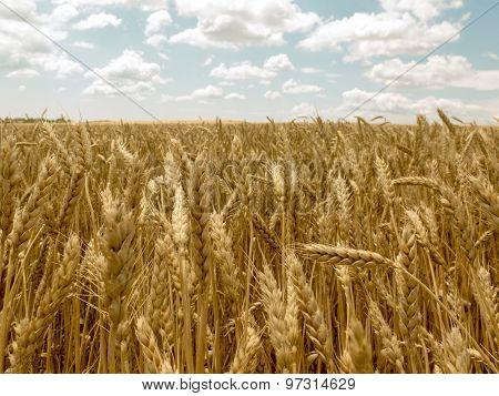 Wheatfield Under A Cloudy Sky