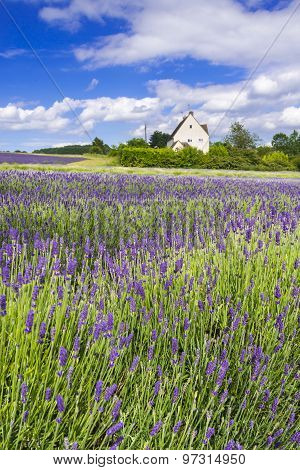 Field Of Lavender Under Blue Skies