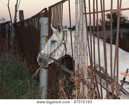 White Horse Animal Photo  Profile Portrait.