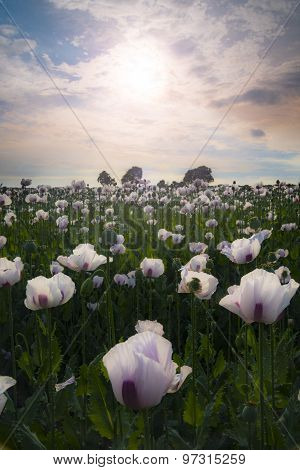 Field Of White Poppies On A Sunny Day