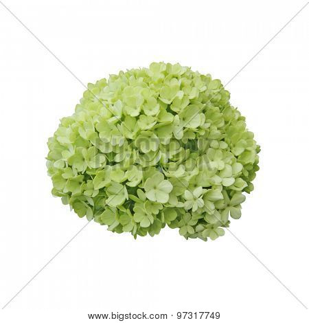 Snowball (Viburnum opulus) flower isolated on white background