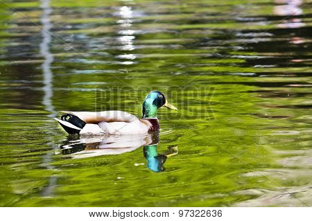 Duck floating on the pond