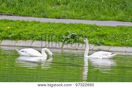 Swans swimming in a pond