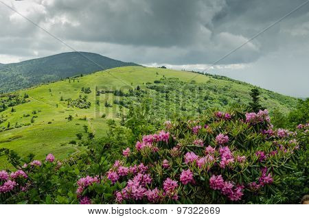 Catawba Rhododendron In Front Of Round Bald