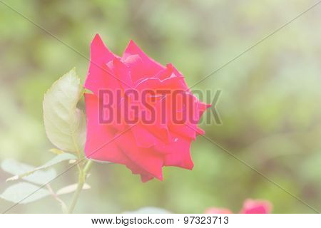 Red Rose In Sweet Tone