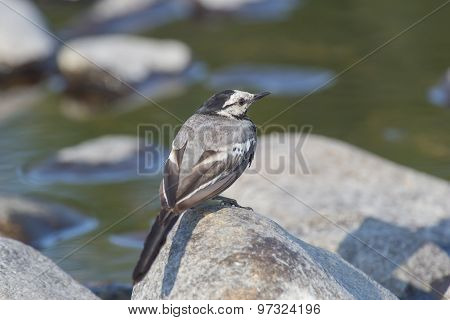 Wagtail Sitting On A Rock