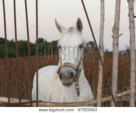 White Horse Animal Photo Portrait.
