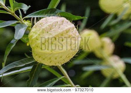 Gomphocarpus Physocarpus, Commonly Known As Balloonplan Or Swan Plant