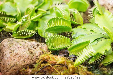 Venus Flytrap (Carnivorous plant)