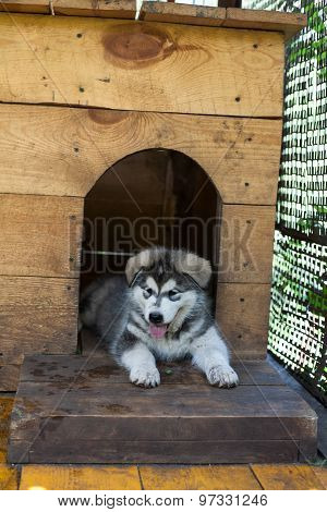 small and funny malamute puppy