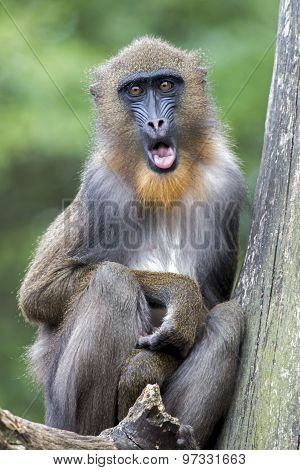 Portrait Of A Young Male Mandrill