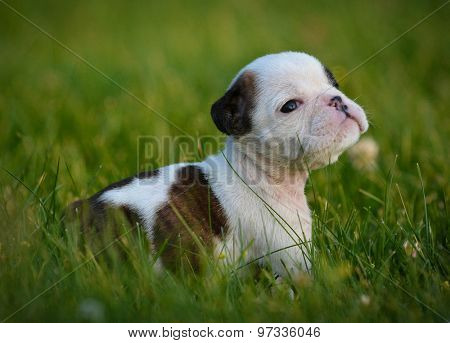puppy in the grass - bulldog 6 weeks old