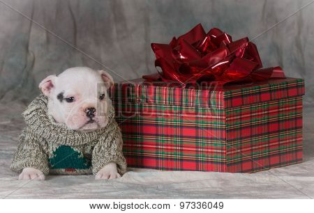 christmas puppy sitting beside gift - bulldog