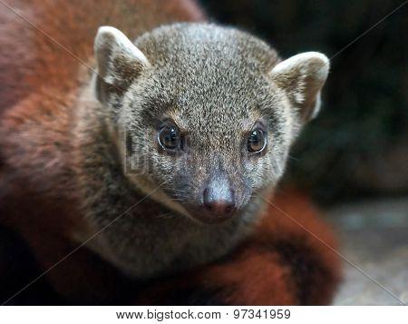 Madagascar Ring-tailed Mongoose (galidia Elegans)