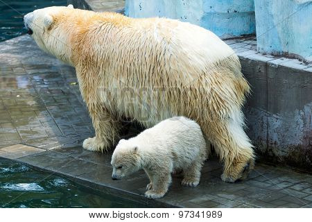 Female Bear With Baby Bear