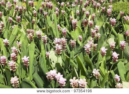 Field Of Siam Tulip Flowers