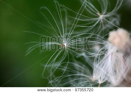 Thistle Seed