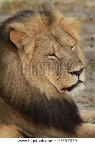 Profile of Cecil the Hwange Lion - Killed July 2015