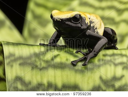 Yellow poison arrow frog Brazil rain forest, Dendrobates galactonotus. Poisonous rainforest animal, exotic tropical rainforest amphibian with warning colors.