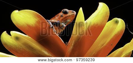 red poison dart frog on bromelia flower Costa rica and Nicaragua. Beautiful poisonous animal from the central american tropical rain forest. Macro exotic amphibian
